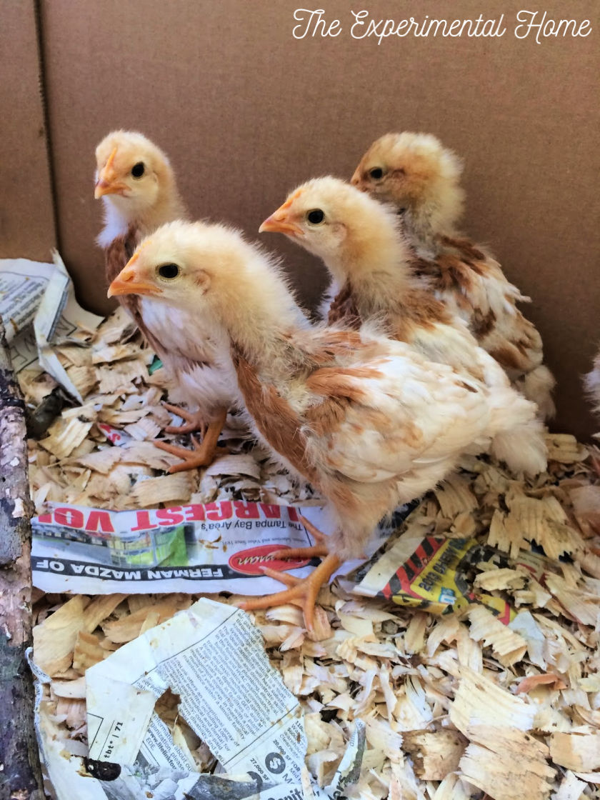 looking large baby chickens